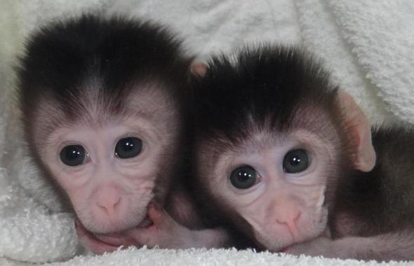 Gemelos de macaco cangrejero modificados genéticamente. Fuente: Cell.