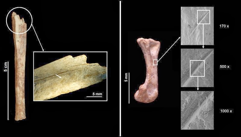 Marcas de corte observadas en los restos fósiles de gato salvaje encontrados en Abric Romaní demuestran que este animal fue procesado por los neandertales. Fuente: IPHEC.