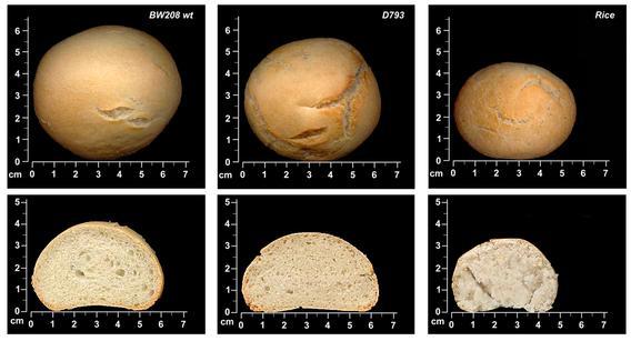 Los tres tipos de pan analizados: el normal, el reducido en gliadinas, y el de arroz. Fuente: PLOS ONE.