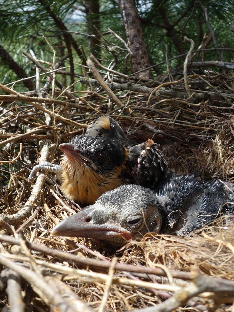 Polluelos de corneja negra y cuco en un mismo nido reclamando alimento. Fuente: Universidad de Oviedo.