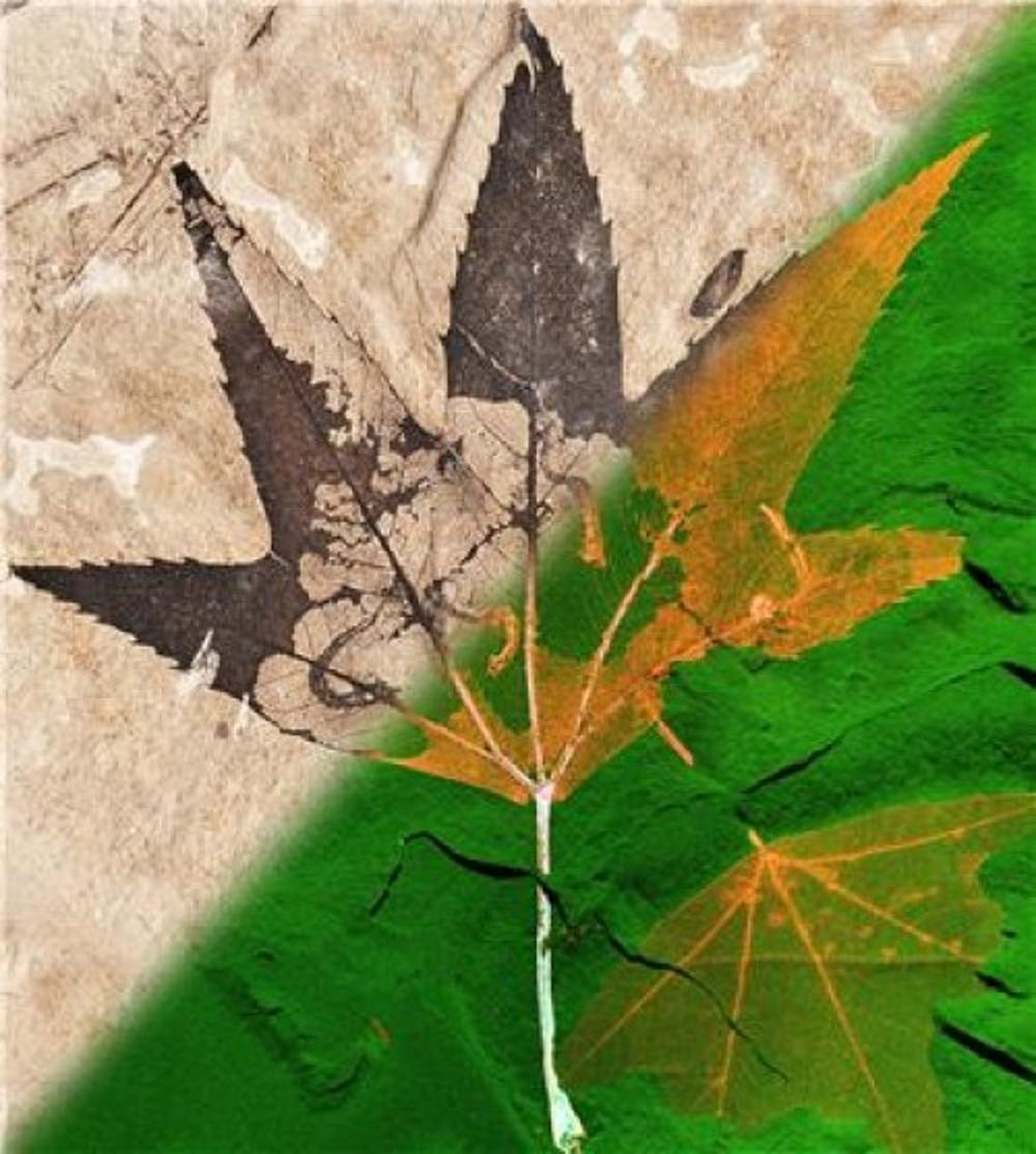 Imagen del fósil de hoja, de 50 millones de años de antigüedad. Los colores representan los elementos presentes en ella: el rojo, el cobre; el verde, el zinc; y el azul, el níquel). Fuente: Universidad de Manchester.