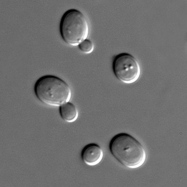 Células de levadura de cerveza (Saccharomyces cerevisiae) vistas al microscopio. Imagen: Masur. Fuente: Wikipedia.