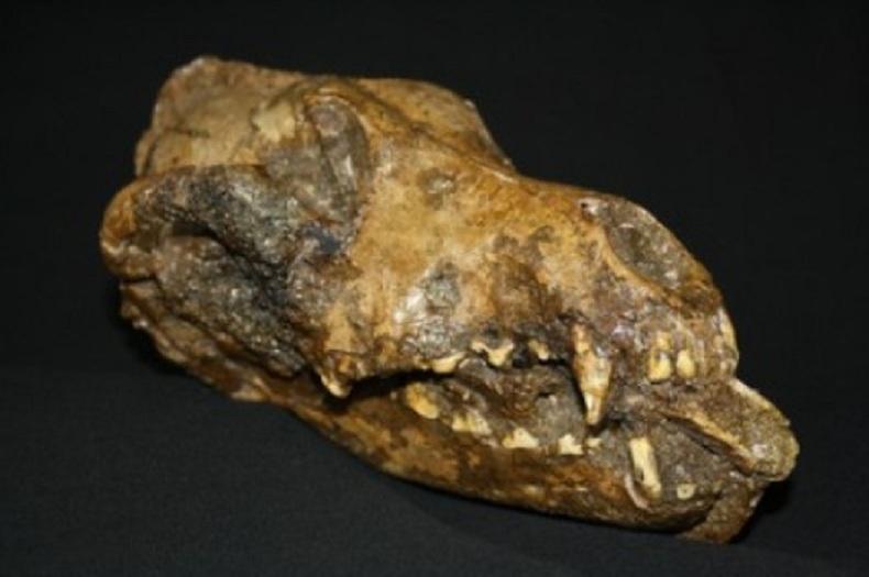 Un fragmento de hueso largo, probablemente de mamut, fue colocado en la boca de este perro poco después de su muerte. El hallazgo sugiere que a este animal se le dio un trato mortuorio especial, quizá reconociendo su papel en la caza del mamut. El fósil proviene del yacimiento de Předmostí, y está datado en unos 27.000 años. Imagen: Museo Anthropos de la República Checa/Mietje Germonpré. Fuente: Penn State University.