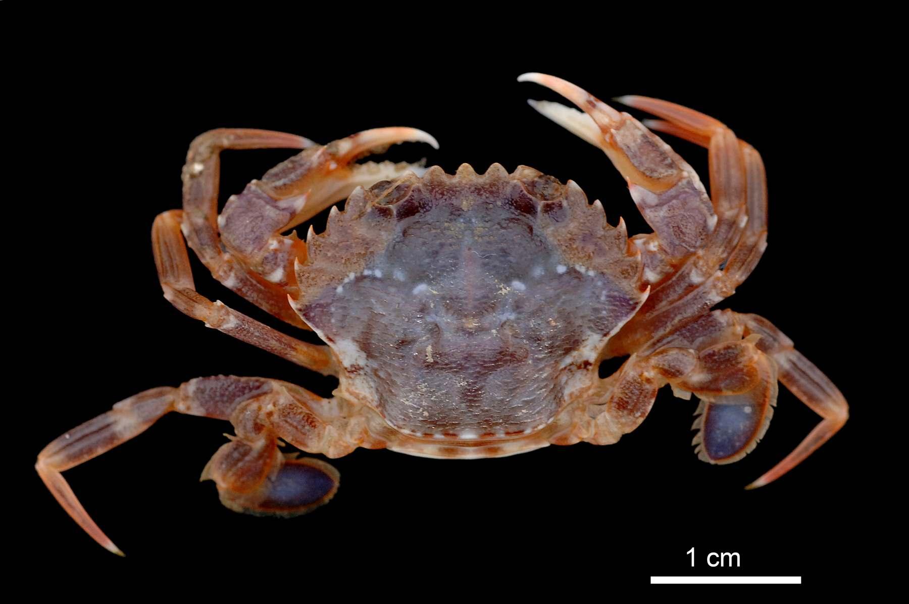"""El cangrejo """"Liocarcius depurator"""", una especie que antes solo se encontraba de forma esporádica en el Mar del Norte, en los últimos diez años se ha convertido en un elemento dominante de la biodiversidad de la zona. © Senckenberg/Tränkner. Fuente: Senckenberg Research Institute."""