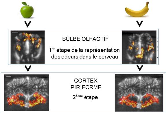 En estas imágenes, la activación cerebral detectada por ultrasonido se muestra en rojo. Durante la presentación de los olores, áreas específicas del bulbo olfatorio se activaron, pero no fue así en la corteza piriforme, lo que sugiere que esta sintetiza la información. Imagen: ©Mickael Tanter/Hirac Gurden. Fuente: AlphaGalileo.