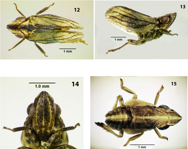 Conosimus baenai. Fuente: Journal of Insect Science.