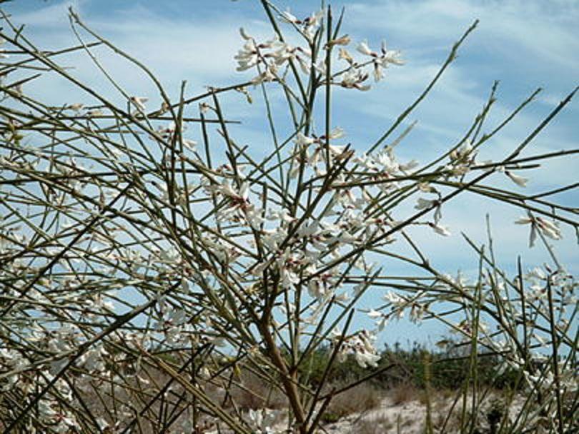 Retama, una de las plantas que emitirían más olores con el aumento de las temperaturas. Imagen: bdk. Fuente: Wikipedia.
