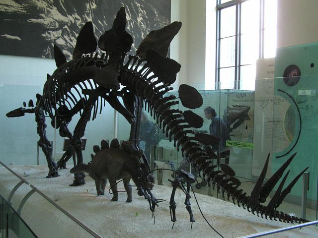 Esqueleto de estegosaurio, uno de los que estaban ya en declive cuando cayó el meteorito, en el Museo de Historia Natural de Nueva York. Imagen: Yosemite. Fuente: Wikipedia.