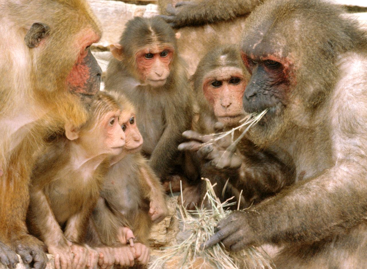 Macacos haciendo vida social. Imagen: Frans de Waal. Fuente: Wikipedia.