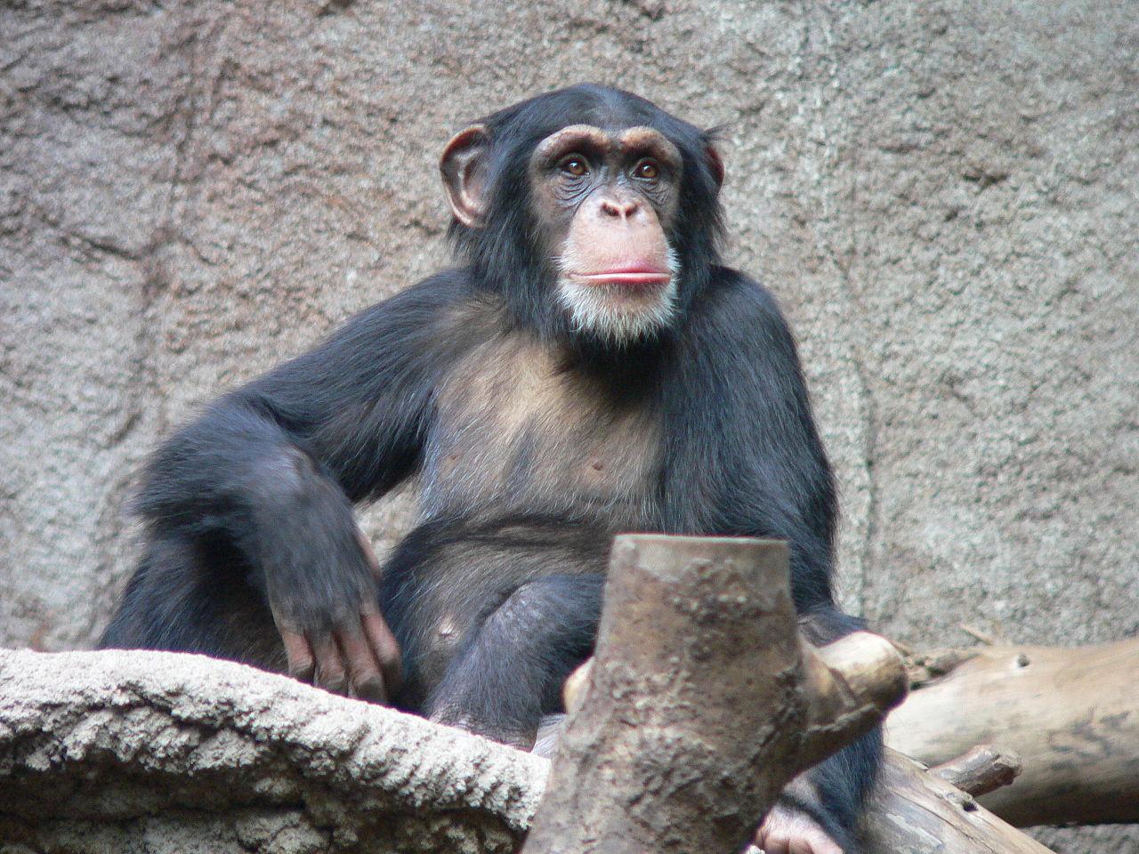 Chimpancé común. Imagen: Thomas Lersch. Fuente: Wikpedia.