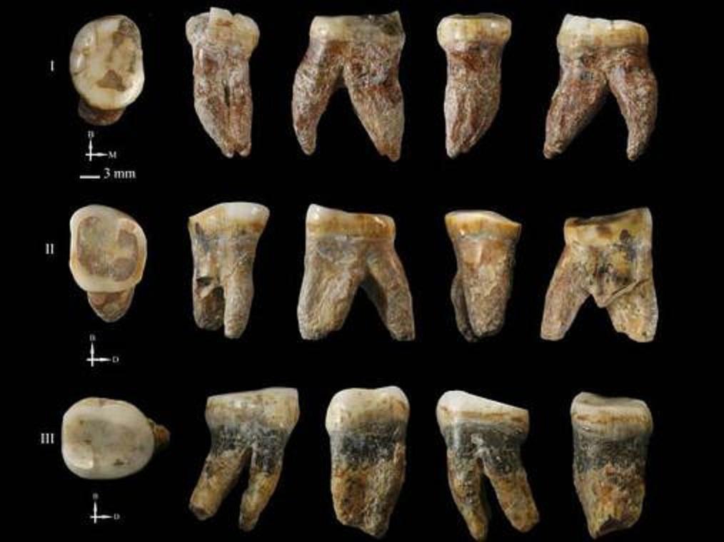 """Dientes fósiles hallados en el yacimiento de Xujiayao, China, han revelado la existencia de una población humana """"desconocida"""". Fuente: CENIEH."""
