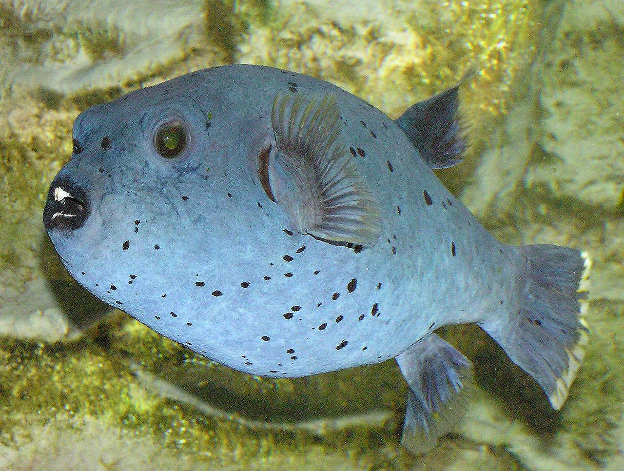 El pez globo está entre las especies amenazadas, según la Lista Roja de la IUCN. Fuente: Wikipedia.