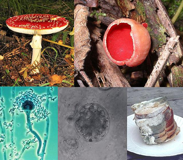 En el sentido de las agujas del reloj: 'Amanita muscaria', un basidiomiceto; 'Sarcoscypha coccinea', un ascomiceto; pan cubierto de moho; un quitridio; y un 'Aspergillus conidióforo'. Imagen: BorgQueen. Fuente: Wikipedia.