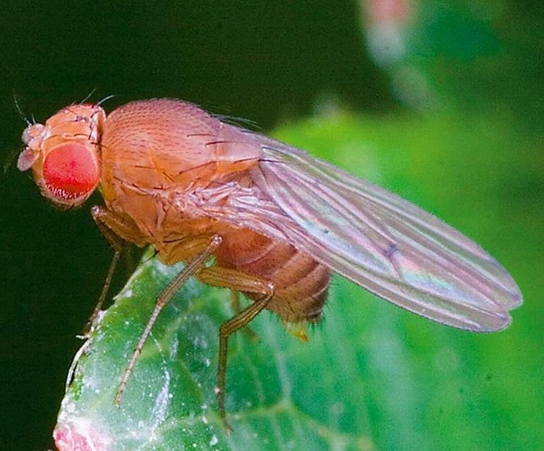 Drosophila simulans. Imagen: Andrew Weeks. Fuente: Wikipedia.