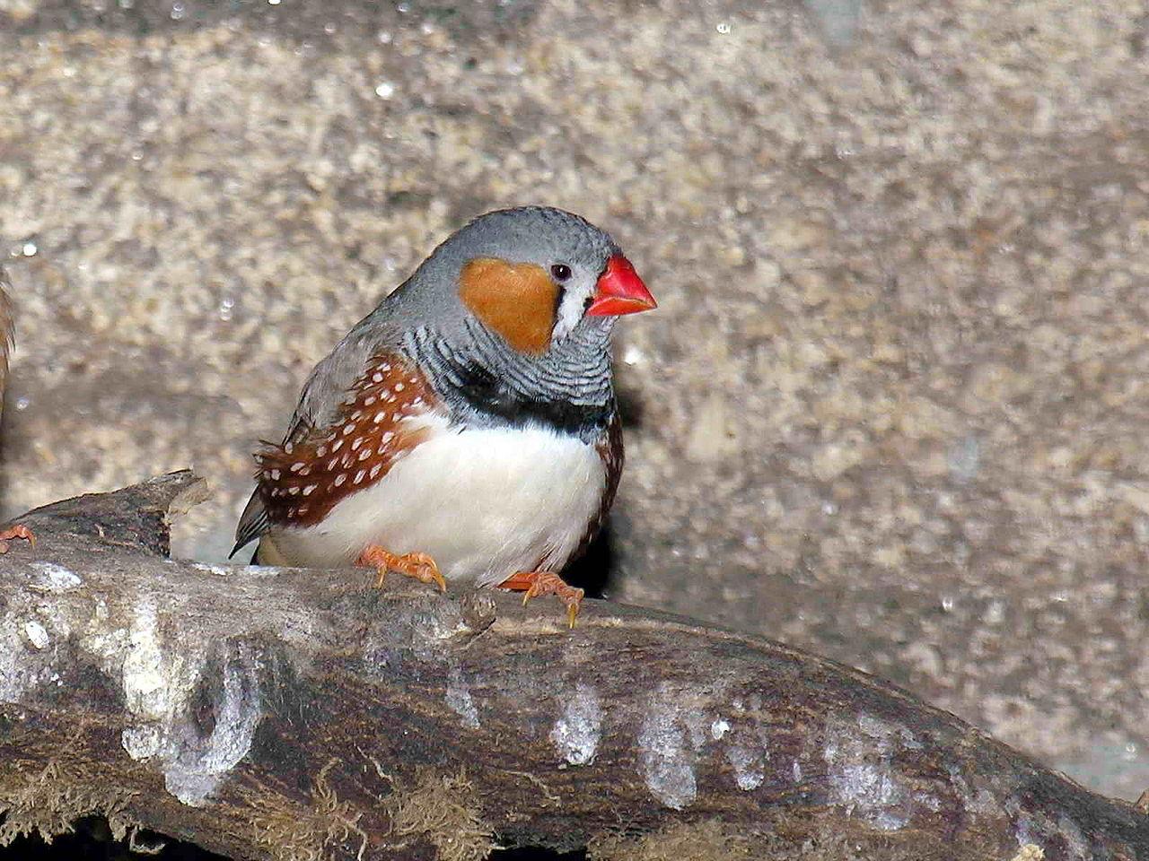 Pinzón cebra. Imagen: Luis Miguel Bugallo Sánchez. Fuente: Wikipedia.