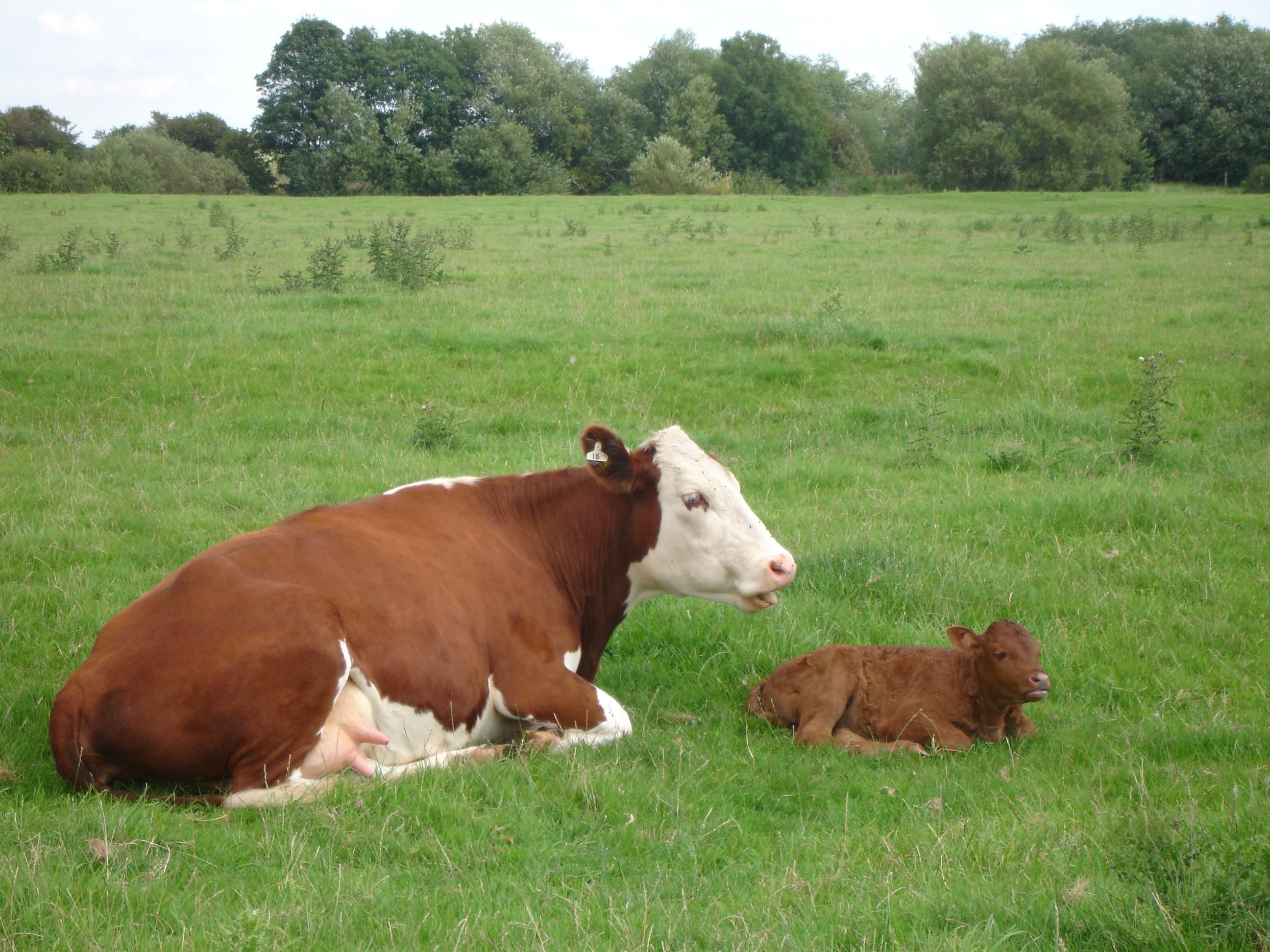 Una vaca y su cría. Fuente: AlphaGalileo.