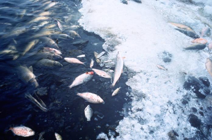 Peces muertos por falta de oxígeno en el agua. Fuente: U.S. Fish & Wildlife Service.