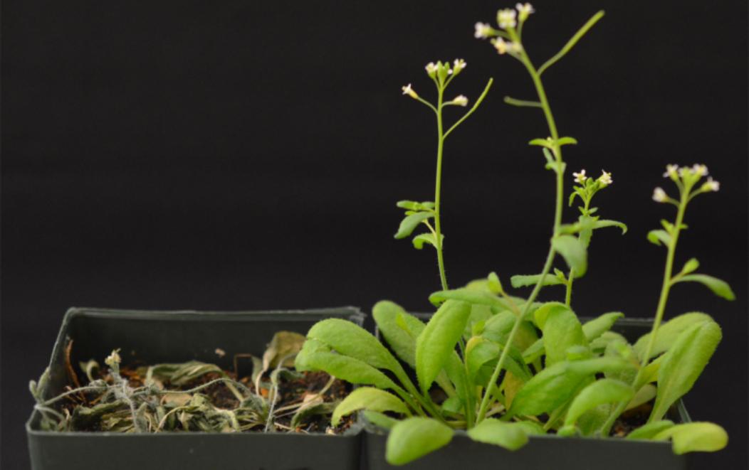 Plantas 'Arabidopsis' transgénicas (a la derecha), y no transgénicas (a la izquierda), después de 12 días sin recibir agua. Imagen: Sang-Youl Park. Fuente: UC Riverside.