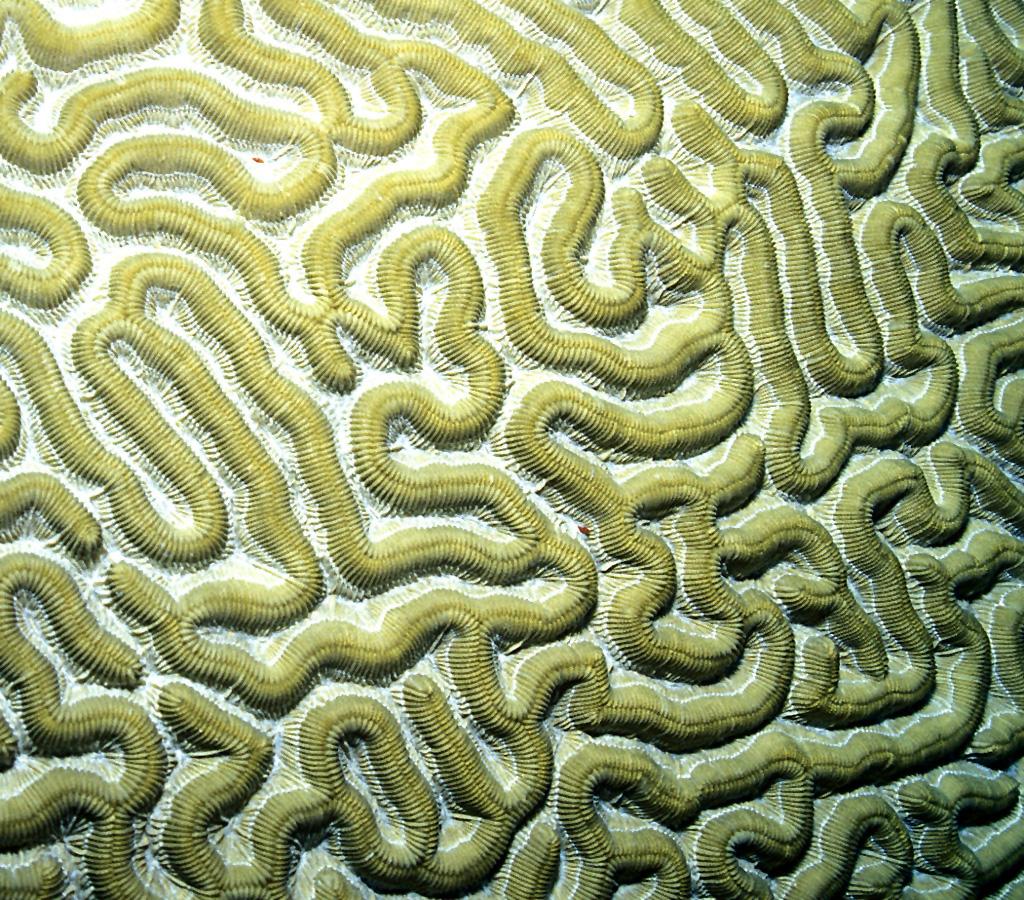 Coral cerebro. Imagen: Laszlo Ilyes. Fuente: Flickr.