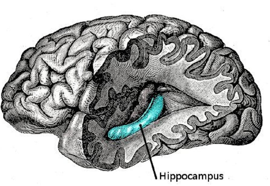 El primer tipo de célula nerviosa del sistema de 'GPS cerebral' fue hallado en un área cerebral llamada hipocampo. Fuente: Wikimedia Commons.