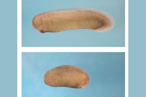En la imagen superior, un embrión de rana se desarrolla normalmente. En la imagen inferior, aparece un embrión de rana que carece de cabeza y cerebro como resultado de la supresión de la proteína Notum. Fuente: HARVARDgazette.