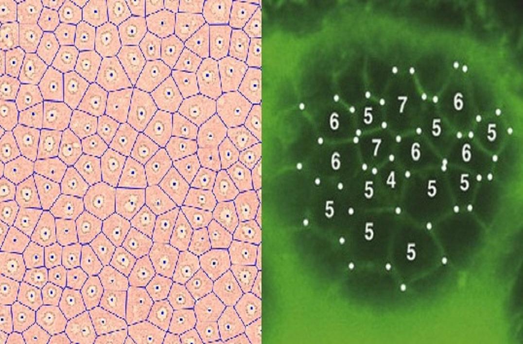 Organización de las células de la piel y de los círculos de hadas. Fuente: OIST.