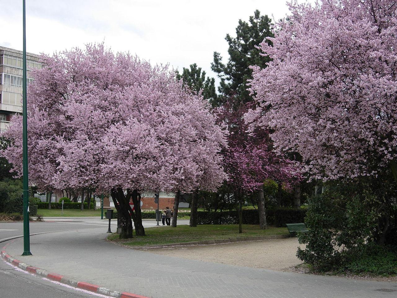 Almendros en flor en la Avenida de Salamanca (Valladolid) de Rondador - Trabajo propio. Disponible bajo la licencia CC BY-SA 3.0 vía Wikimedia Commons.