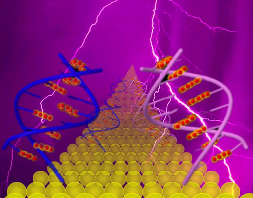 El flujo de corriente a través de la guanina apilada (derecha) es coherente y mucho más fuerte, mientras que el comportamiento de salto en el ADN con guaninas alternadas es más débil (izquierda). Las bases de guanina están en rojo. Fuente: ASU.
