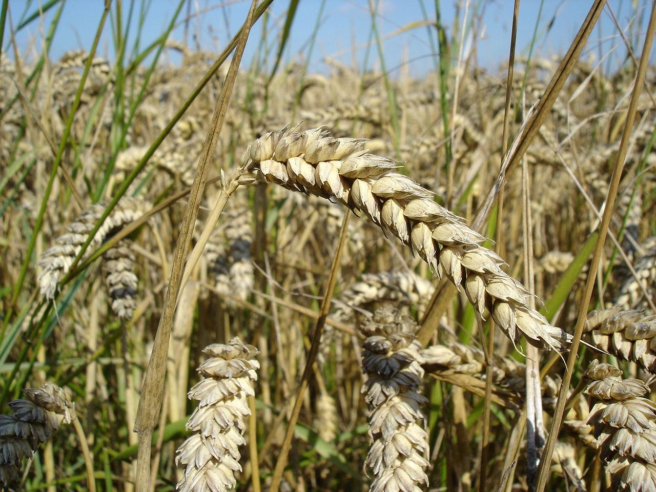 Espigas de trigo. Imagen: Bluemoose-Trabajo propio. Disponible bajo la licencia CC BY-SA 3.0 vía Wikimedia Commons.