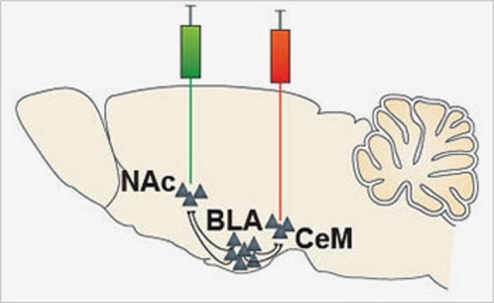 Los investigadores inyectaron marcadores verdes y rojos para analizar las dos vías a las que lleva el cruce de caminos de la amígdala basolateral (BLA): el centro de recompensa núcleo accumbens (NAc) y el de miedo, amígadala centromedial (CeM). Imagen: Praneeth Namburi et al. Fuente: NIH.
