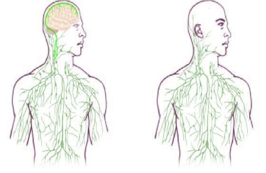 Mapas del sistema linfático: El antiguo (derecha) y el actualizado, que refleja el descubrimiento de los investigadores de la UVA. Fuente: University of Virginia Health System.