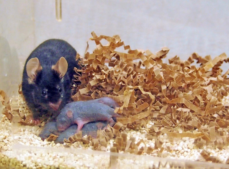 Los hijos de ratonas expuestas a feromonas masculinas 'antes' del embarazo son más inteligentes. Fuente: Universidad de Indiana.