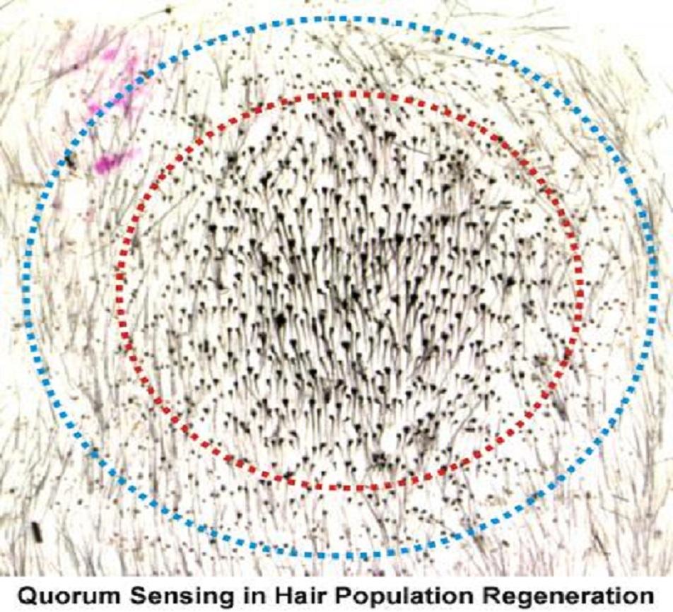 'Quorum Sensing' en regeneración capilar. Imagen: Cheng-Ming Chuong. Fuente: Eurekalert!