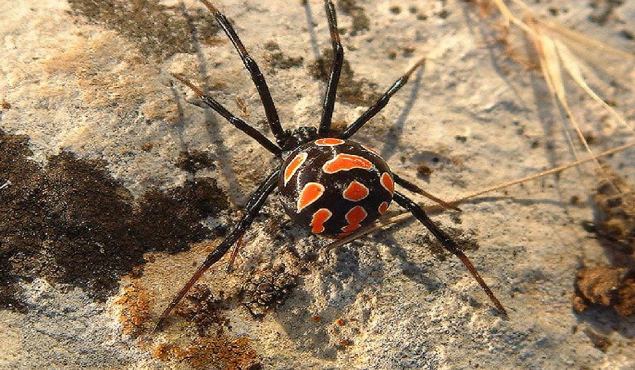 Hembra de Latrodectus tredecimguttatus. Fuente: Wikipedia.