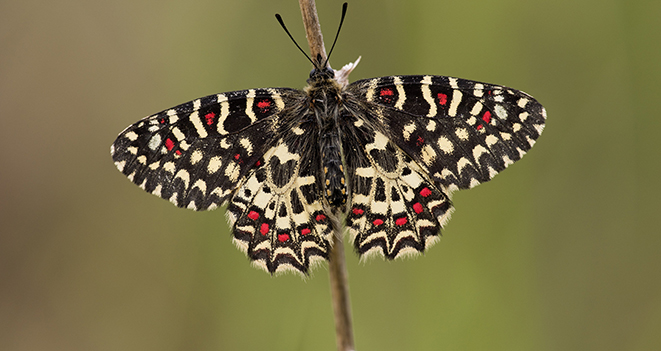 Muchas mariposas parecen iguales al ojo humano, pero el ADN revela las diferencias. Fuente: CSIC.