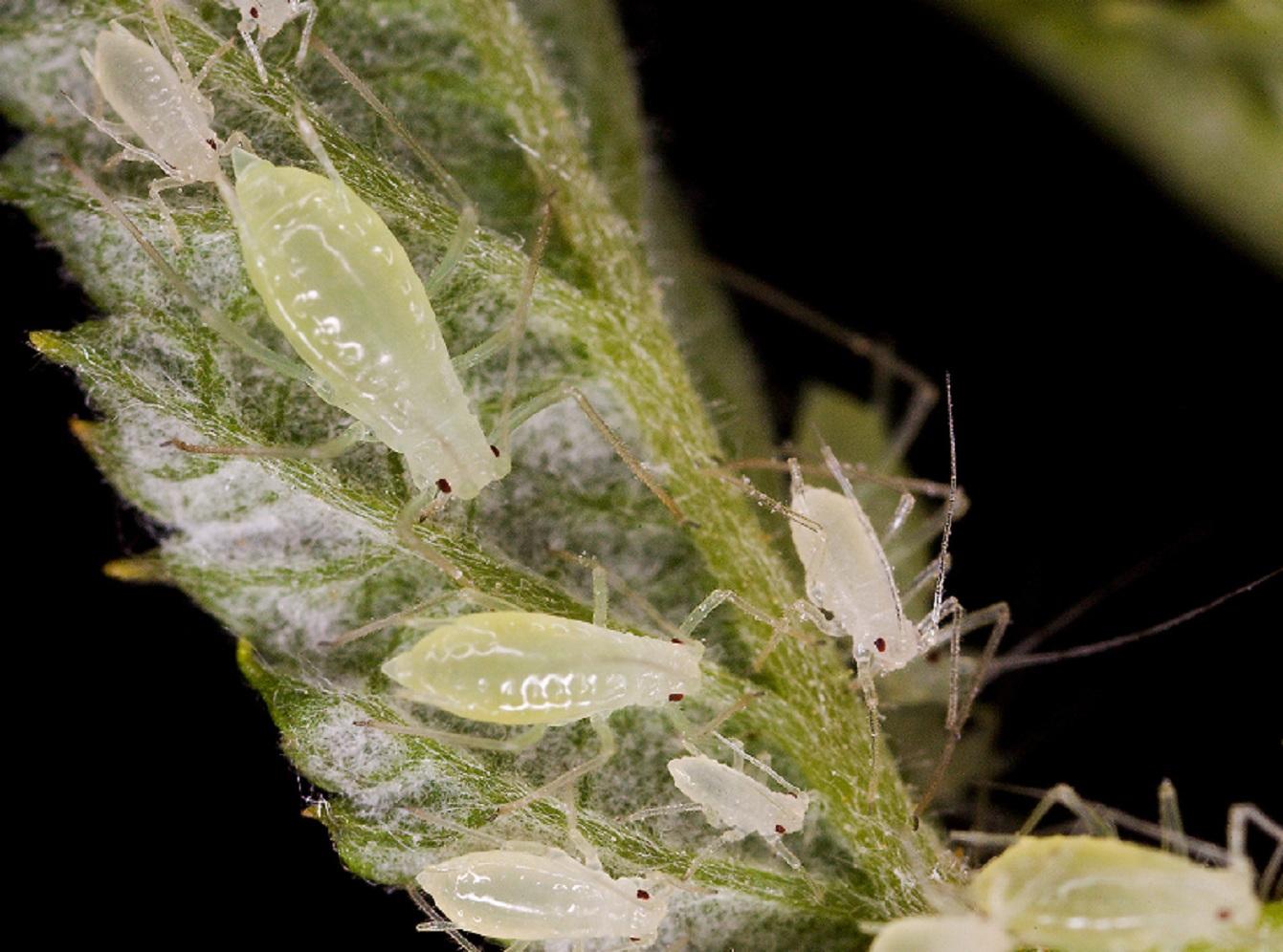 Plaga de áfidos en planta de frambuesa, en Estados Unidos. Fuente: Departamento de Agricultura de EE.UU.
