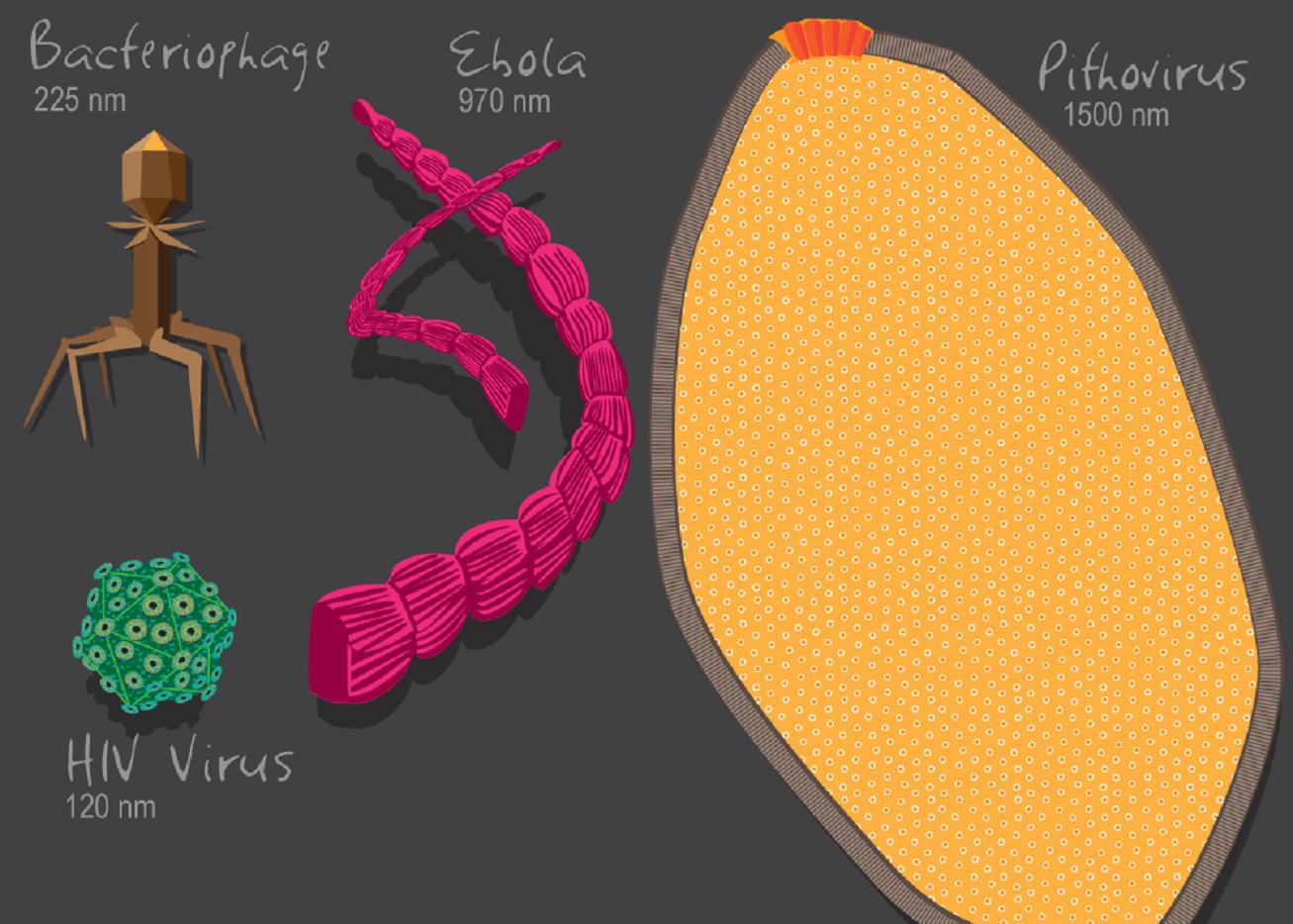 Varios virus, de distintos tipos. Imagen: Julie McMahon. Fuente: Universidad de Illinois.