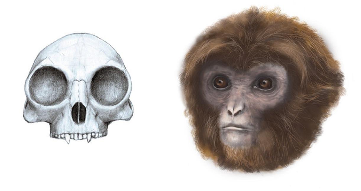 Reconstrucción del cráneo y de la apariencia de 'Pliobates cataloniae'. Imagen: Marta Palmero. Fuente: ICP.