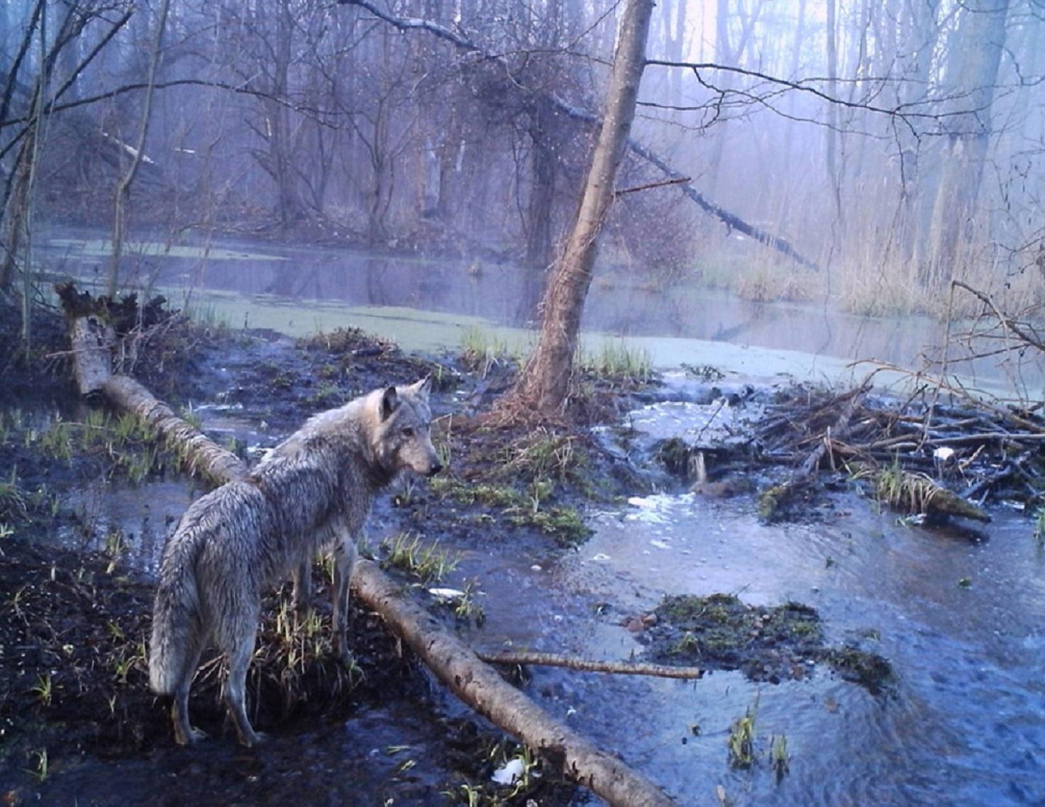 Un ejemplar de lobo euroasiático (Canis lupus lupus) acecha en la zona afectada por la radiación en Chernóbil. Imagen: Sergei Gaschak.