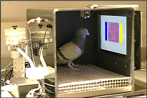 Las palomas fueron entrenadas con refuerzo alimenticio y sometidas a diversos parámetros de control.  Imagen: Levenson, et al. Fuente: Sinc.