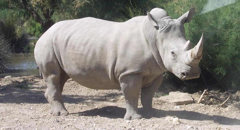 Rinoceronte blanco. Imagen: Coralie. Fuente: Disponible bajo la licencia CC BY-SA 3.0 vía Wikimedia Commons.