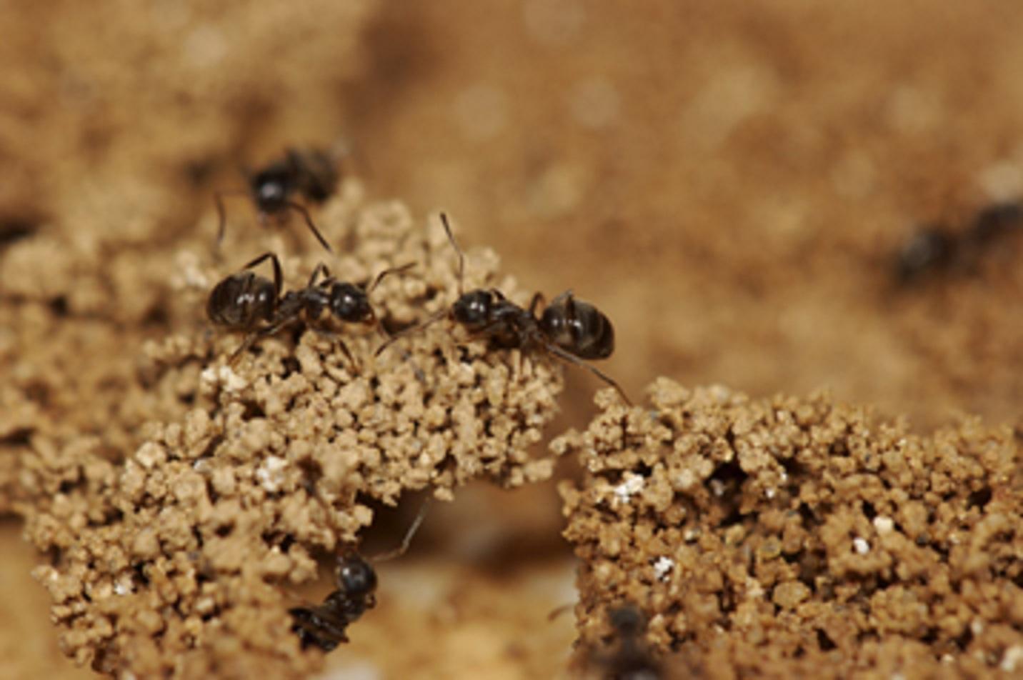 Hormigas 'Lausius niger' construyendo sus nidos. © Guy Theraulaz. Fuente: CRCA/CNRS (Toulouse).