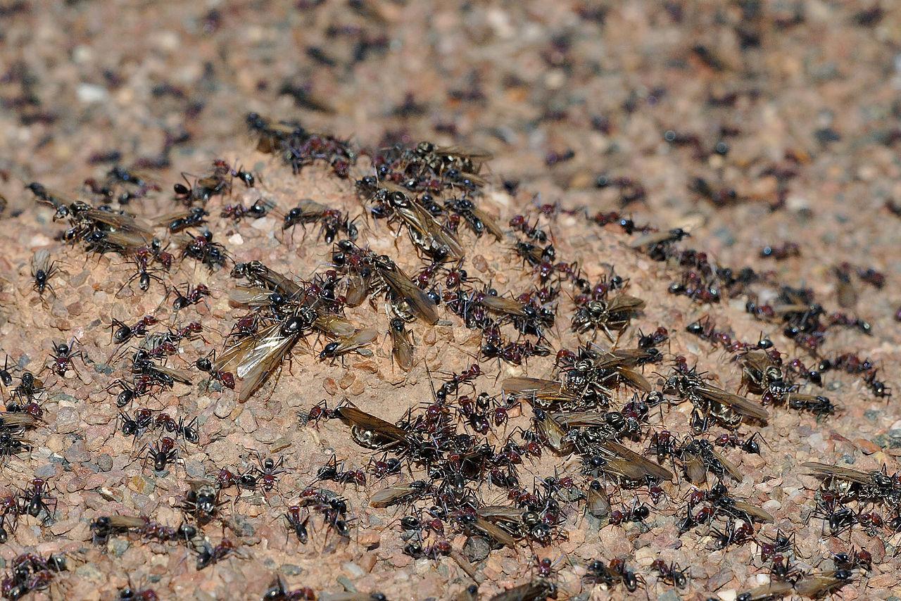 Salida en enjambre de una colonia de hormigas, insectos eusociales que pueden autosacrificarse por su comunidad.  Imagen: fir0002. Fuente: Disponible bajo la licencia GFDL 1.2 vía Wikimedia Commons.