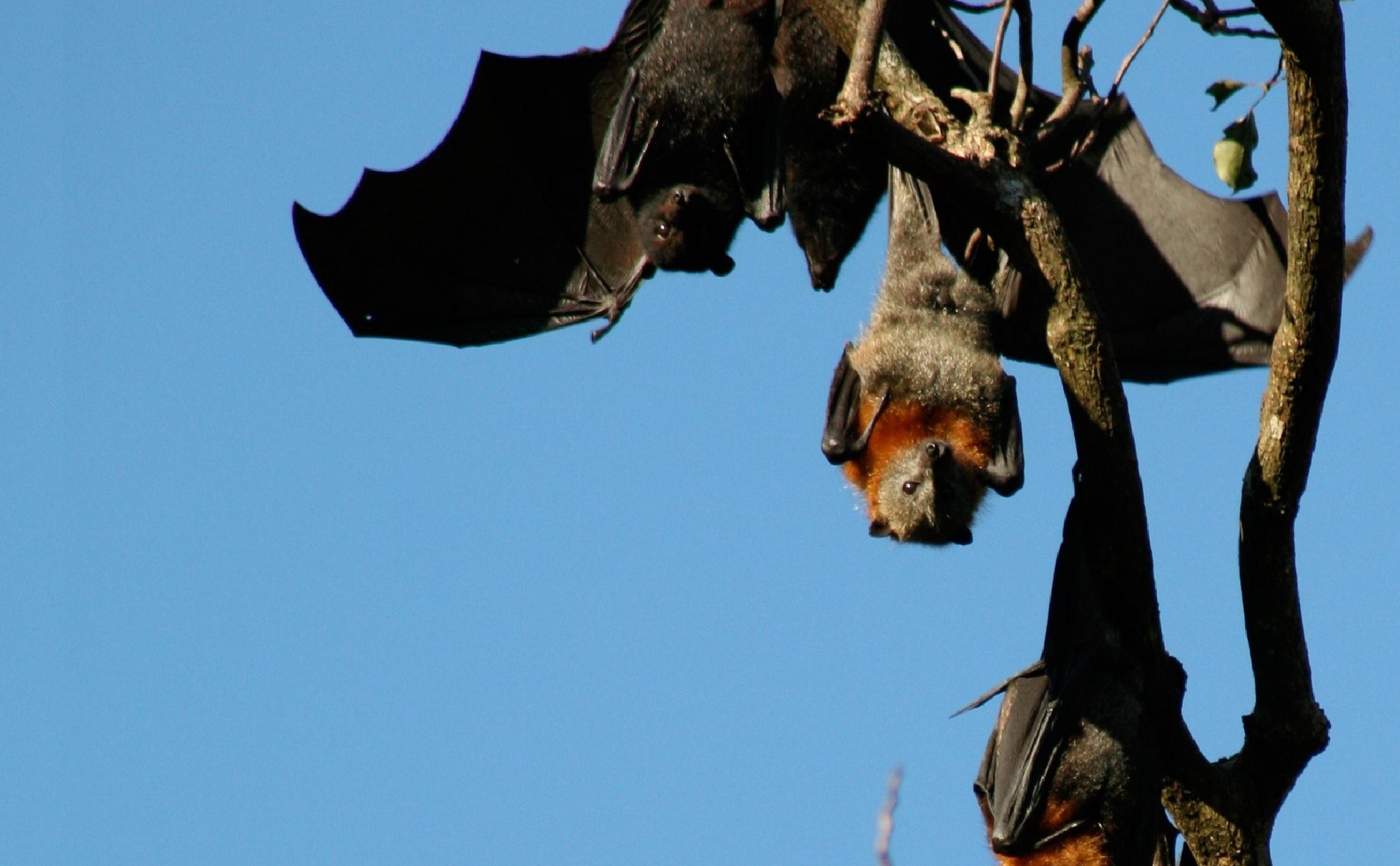 Murciélagos australianos. Imagen: M. Baker. Fuente: Csiro.