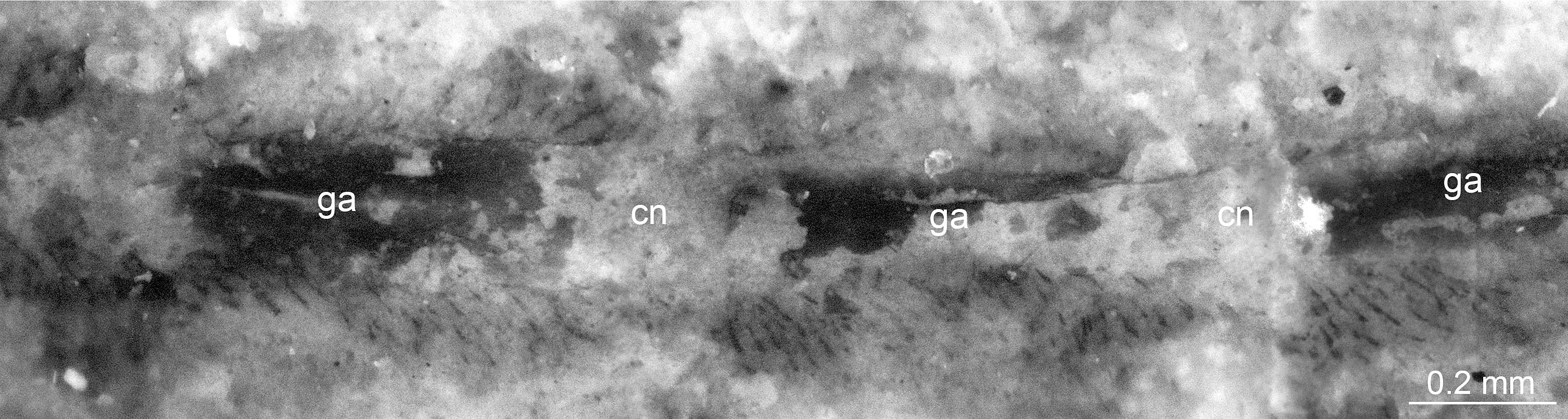 Nervios del fósil. Imagen: Jie Yang. Fuente: Universidad de Cambridge.