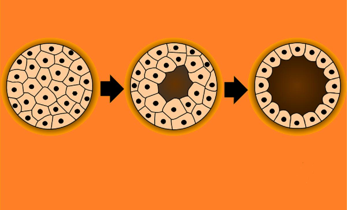 Uno de los estados tempranos del desarrollo embrionario en animales (blástula). Fuente: Wikimedia Commons.