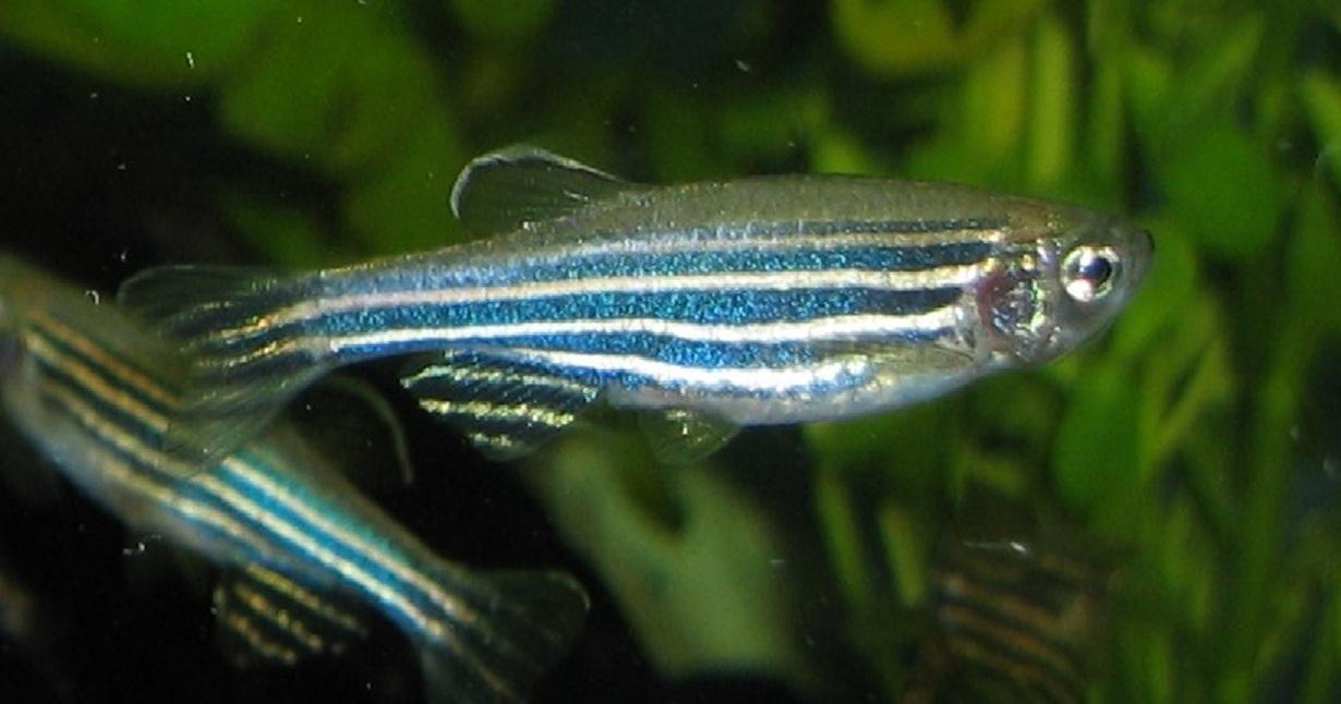 El estudio fue realizado con peces cebra. Imagen: Azul. Fuente: Wikipedia.