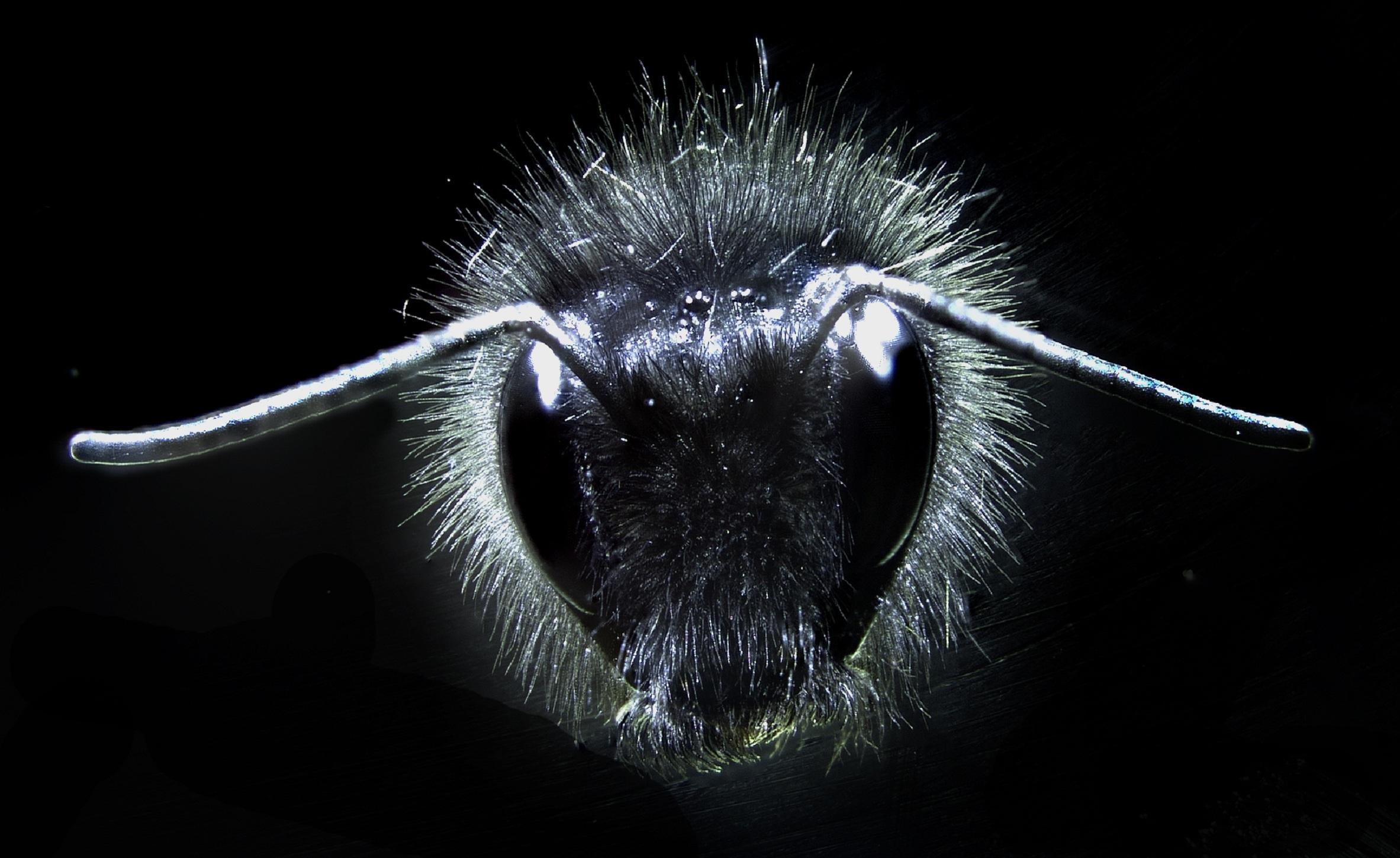 Un abejorro cubierto de pelos. Fuente: Universidad de Bristol.