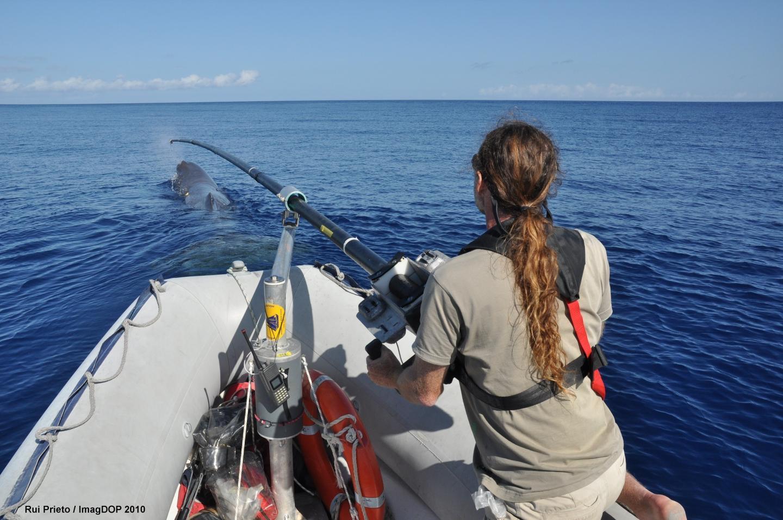 Seguimiento de los cachalotes en las Azores. Imagen: Rui Prieto. Fuente: EurekAlert!