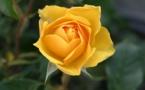 Un nuevo material convierte una rosa en una batería